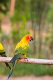 Παπαγάλοι Conure ήλιων Στοκ Φωτογραφία