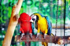 Παπαγάλοι Macaw και αγάπη Στοκ Εικόνες