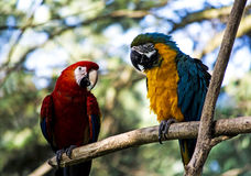 Παπαγάλοι Macaw Στοκ Εικόνα