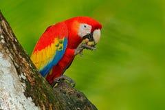 Παπαγάλος ερυθρό Macaw, Ara Μακάο, στο πράσινο τροπικό δάσος με το καρύδι, Κόστα Ρίκα, σκηνή άγριας φύσης από την τροπική φύση Κό Στοκ Φωτογραφίες