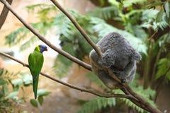 Παπαγάλος και Koala Στοκ Φωτογραφία
