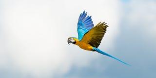 Παπαγάλος κατά την πτήση στο νεφελώδη ουρανό στοκ εικόνα