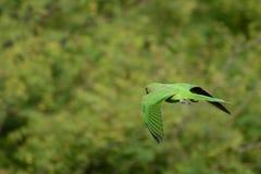 Παπαγάλος κατά την πτήση Στοκ εικόνες με δικαίωμα ελεύθερης χρήσης