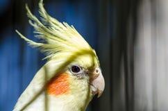 Παπαγάλος με τα ρόδινα μάγουλα Στοκ φωτογραφίες με δικαίωμα ελεύθερης χρήσης