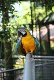 Παπαγάλος μπλε-και-κίτρινου macaw Στοκ εικόνα με δικαίωμα ελεύθερης χρήσης