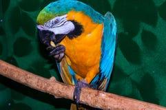 Παπαγάλος μπλε-και-κίτρινο ararauna Macaw ή Ara Στοκ Φωτογραφία