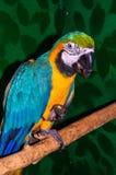 Παπαγάλος μπλε-και-κίτρινο ararauna Macaw ή Ara Στοκ φωτογραφία με δικαίωμα ελεύθερης χρήσης