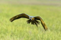 Παπαγάλος ομορφιάς που πετά στον τομέα ρυζιού, δράση Στοκ Εικόνα