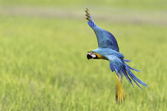 Παπαγάλος ομορφιάς που πετά στον τομέα ρυζιού Στοκ φωτογραφία με δικαίωμα ελεύθερης χρήσης