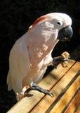 Παπαγάλος που τρώει ένα κομμάτι του ψωμιού Στοκ Φωτογραφία