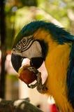 Παπαγάλος που τρώει τα φρούτα Στοκ εικόνα με δικαίωμα ελεύθερης χρήσης