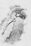 παπαγάλος Σκίτσο με το μολύβι Στοκ εικόνες με δικαίωμα ελεύθερης χρήσης