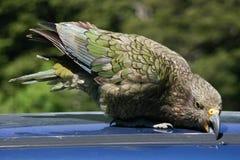 Παπαγάλος της Kea που προσπαθεί να πάρει σε ένα αυτοκίνητο Στοκ Εικόνα