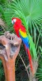 Παπαγάλος Ara με τα κόκκινα, κίτρινα και μπλε φτερά Στοκ εικόνα με δικαίωμα ελεύθερης χρήσης