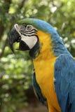 Παπαγάλος Ara στο τροπικό δάσος του Αμαζονίου Στοκ Φωτογραφία