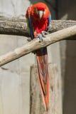 Παπαγάλος Ara macaw στην πέρκα του Στοκ Εικόνες