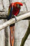 Παπαγάλος Ara macaw στην πέρκα του Στοκ Φωτογραφία