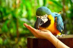 Παπαγάλος Ara macaws Στοκ φωτογραφίες με δικαίωμα ελεύθερης χρήσης