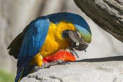 Παπαγάλος ararauna Ara στην πέρκα του Στοκ φωτογραφίες με δικαίωμα ελεύθερης χρήσης