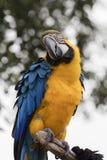 Παπαγάλος ararauna Ara στην πέρκα του Στοκ Φωτογραφίες