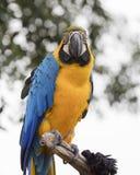 Παπαγάλος ararauna Ara στην πέρκα του Στοκ εικόνες με δικαίωμα ελεύθερης χρήσης