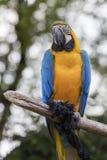 Παπαγάλος ararauna Ara στην πέρκα του Στοκ Εικόνα