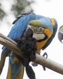 Παπαγάλος ararauna Ara στην πέρκα του Στοκ Εικόνες