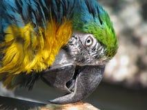 Παπαγάλος Ararauna Ara Στοκ Εικόνες