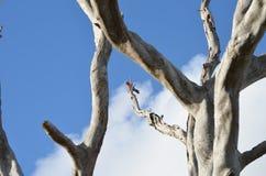 Παπαγάλος Galah Στοκ εικόνα με δικαίωμα ελεύθερης χρήσης