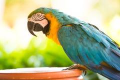 Παπαγάλος macaw, κινηματογράφηση σε πρώτο πλάνο σε ένα πράσινο υπόβαθρο Στοκ φωτογραφίες με δικαίωμα ελεύθερης χρήσης