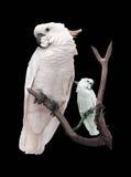 Παπαγάλος Macaw που απομονώνεται σε ένα μαύρο υπόβαθρο Στοκ Εικόνες
