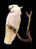 Παπαγάλος Macaw που απομονώνεται σε ένα μαύρο υπόβαθρο στοκ φωτογραφία
