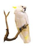 Παπαγάλος Macaw που απομονώνεται στο άσπρο υπόβαθρο στοκ εικόνα