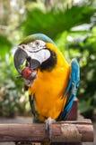 Παπαγάλος Macaw που τρώει το σταφύλι Στοκ φωτογραφία με δικαίωμα ελεύθερης χρήσης