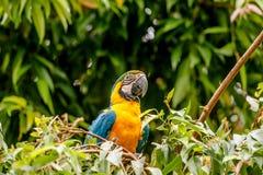 Παπαγάλος Macaw σε ένα τροπικό δάσος Στοκ Εικόνες