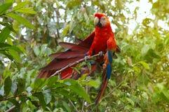 Παπαγάλος Macaw - ararauna Ara στο τροπικό δάσος Στοκ εικόνες με δικαίωμα ελεύθερης χρήσης