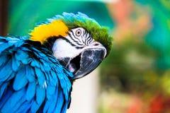 Παπαγάλος macaws (ararauna Ara) Στοκ Εικόνες