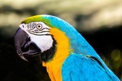 Παπαγάλος macaws (ararauna Ara) Στοκ φωτογραφίες με δικαίωμα ελεύθερης χρήσης