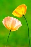 παπαρούνα δύο λουλουδ&iot Στοκ Φωτογραφία