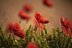 παπαρούνα λιβαδιών λουλ& Στοκ Εικόνα