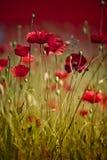παπαρούνα λιβαδιών λουλ& Στοκ εικόνες με δικαίωμα ελεύθερης χρήσης