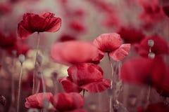 παπαρούνα λιβαδιών λουλ& Στοκ Φωτογραφίες
