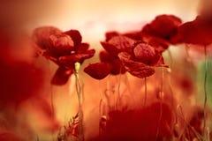 παπαρούνα λιβαδιών λουλ& Στοκ φωτογραφία με δικαίωμα ελεύθερης χρήσης