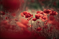 παπαρούνα λιβαδιών λουλ& Στοκ Εικόνες