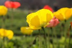 παπαρούνα κίτρινη Στοκ Φωτογραφίες