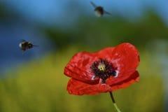 Παπαρούνα και μέλισσα Στοκ Φωτογραφία