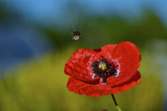 Παπαρούνα και μέλισσα Στοκ Εικόνα