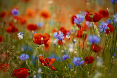 Παπαρούνα και Cornflower καλαμποκιού στοκ εικόνες με δικαίωμα ελεύθερης χρήσης