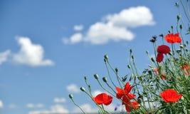 παπαρούνα καλαμποκιού Στοκ εικόνες με δικαίωμα ελεύθερης χρήσης