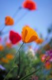 παπαρούνα Καλιφόρνιας στοκ εικόνες